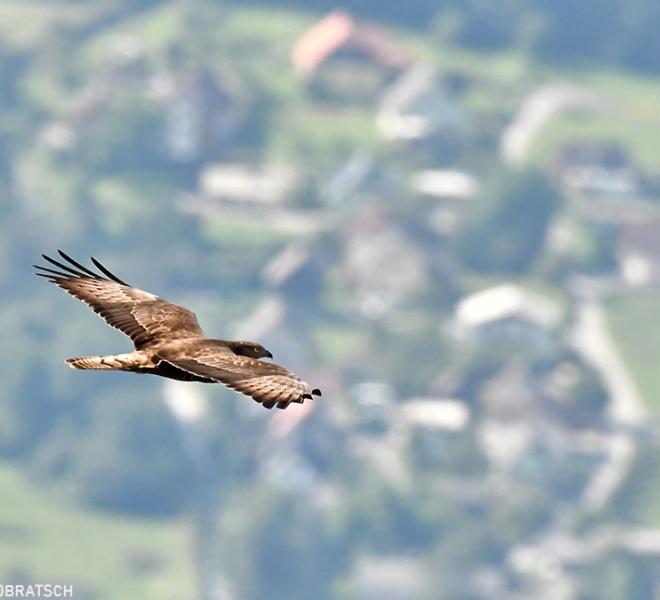 Greifvogelwochen-im-Naturpark-Dobratsch_1
